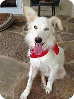 Australian Shepherd Mix Dog for adoption in Austin, Texas - Kelsey