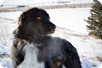 Border Collie Mix Dog for adoption in Cheyenne, Wyoming - Wolfie