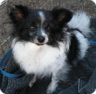 Papillon Dog for adoption in Jacksonville, Florida - Charlie - Click me!