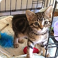 Adopt A Pet :: Kitten - Wenatchee, WA