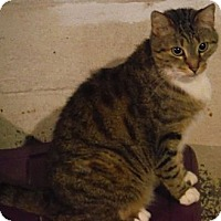 Domestic Shorthair Cat for adoption in Saint Albans, West Virginia - Sparky