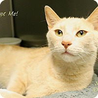 Domestic Shorthair Cat for adoption in Camden, Delaware - Michael