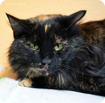 Domestic Longhair Cat for adoption in Tucson, Arizona - Jenga