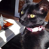 Adopt A Pet :: Lace - Colmar, PA