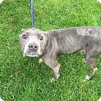Adopt A Pet :: Sweetie Pie - Warren, MI