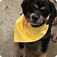 Adopt A Pet :: Samson - Sacramento, CA