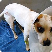 Adopt A Pet :: Lancealot - Redding, CA