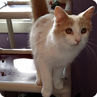 Domestic Mediumhair Cat for adoption in Port Clinton, Ohio - Little One