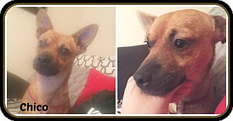 Chihuahua/Jack Russell Terrier Mix Dog for adoption in Malvern, Arkansas - CHICO