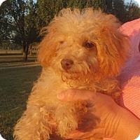 Adopt A Pet :: Myra - Salem, NH