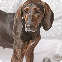 Black and Tan Coonhound/Plott Hound Mix Dog for adoption in Harrisonburg, Virginia - Lady