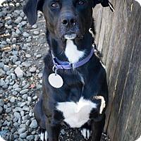 Adopt A Pet :: Dexter - Breinigsville, PA