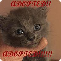 Adopt A Pet :: SHERLOCK - Rochester Hills, MI