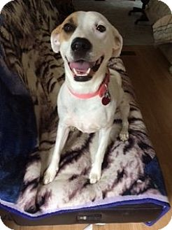 Dalmatian/Labrador Retriever Mix Dog for adoption in Baraboo, Wisconsin - Natalie