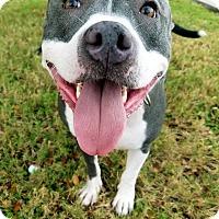 Pit Bull Terrier Mix Dog for adoption in Allen, Texas - Tessa