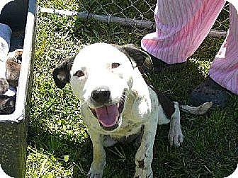 Catahoula Leopard Dog/Dalmatian Mix Dog for adoption in Slidell, Louisiana - April (Levein)