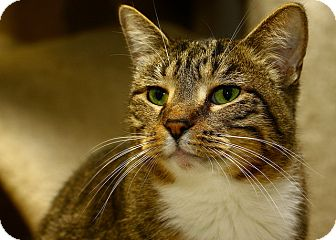 Domestic Shorthair Cat for adoption in Lombard, Illinois - Shawna