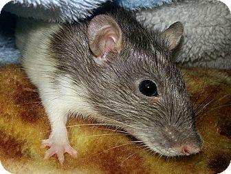 Rat for adoption in Lakewood, Washington - Shia