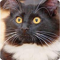 Adopt A Pet :: Cary Grant - Scottsdale, AZ