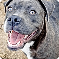 Pit Bull Terrier/Boxer Mix Dog for adoption in Grand Prairie, Texas - Smokey