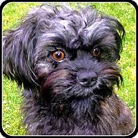 Adopt A Pet :: SHILOH - ADOPTION PENDING - Seymour, MO