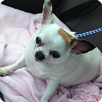 Adopt A Pet :: Little Bit - Irmo, SC