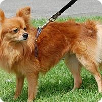 Adopt A Pet :: Sheldon - West Los Angeles, CA