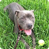 American Pit Bull Terrier Dog for adoption in Palm City, Florida - Banzai