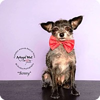 Adopt A Pet :: Benny - Houston, TX