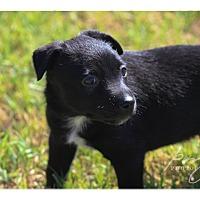 Adopt A Pet :: Guinness - Tempe, AZ
