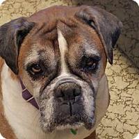 Boxer Dog for adoption in Alameda, California - Nycee