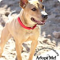 Adopt A Pet :: Nugget (Pocket Pit) - Mt Vernon, NY