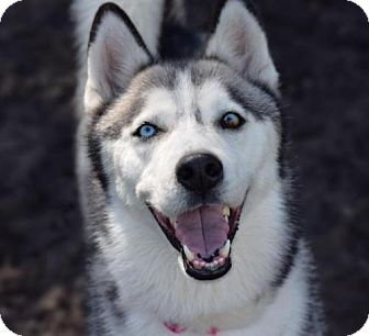 Siberian Husky Dog for adoption in Jupiter, Florida - Kaya