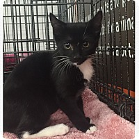 American Shorthair Kitten for adoption in Cerritos, California - Emmy