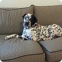 Dalmatian/Labrador Retriever Mix Dog for adoption in Phoenix, Arizona - Domino