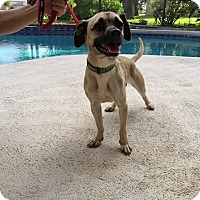 Adopt A Pet :: Chase - Windermere, FL