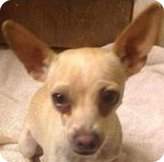 Chihuahua Mix Dog for adoption in MINNEAPOLIS, Kansas - Clarise