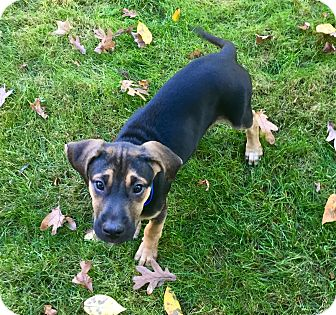 Coonhound/Rhodesian Ridgeback Mix Puppy for adoption in Bedford Hills, New York - Leonardo