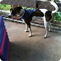 Jack Russell Terrier/Fox Terrier (Toy) Mix Dog for adoption in Dushore, Pennsylvania - Finnlee