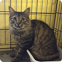 Maine Coon Cat for adoption in Bishopville, South Carolina - Griselda