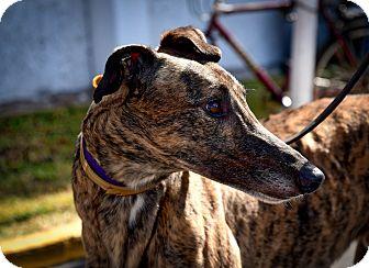 Greyhound Dog for adoption in Sarasota, Florida - KC Defiance