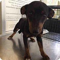 Adopt A Pet :: A422497 - San Antonio, TX