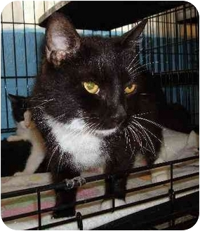 Domestic Shorthair Cat for adoption in Odenton, Maryland - Brigitte