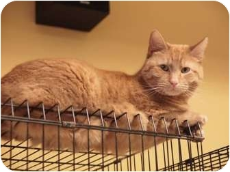 Domestic Shorthair Cat for adoption in Ocean City, New Jersey - Molly