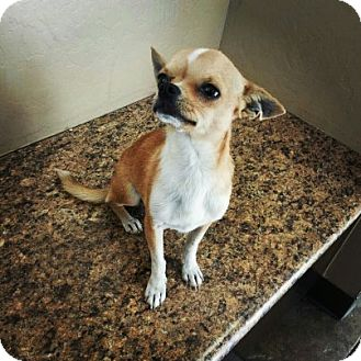Chihuahua Dog for adoption in Scottsdale, Arizona - Sonny
