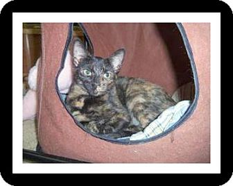 Domestic Shorthair Cat for adoption in Medford, Wisconsin - MARA