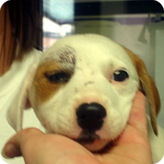 Beagle/Feist Mix Puppy for adoption in baltimore, Maryland - Megan