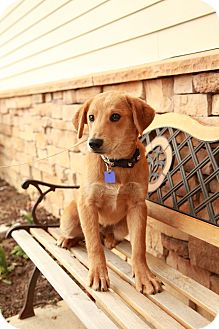 Labrador Retriever/Golden Retriever Mix Puppy for adoption in Lancaster, Ohio - Lager