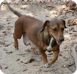Dachshund Mix Dog for adoption in Lufkin, Texas - Ann