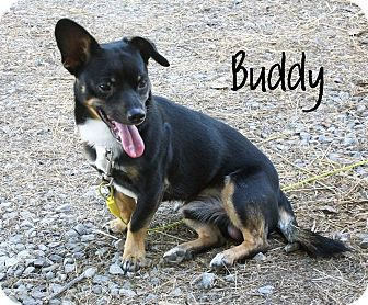 Buddy | Adopted Dog | DuQuoin, IL | Dachshund/Terrier ...